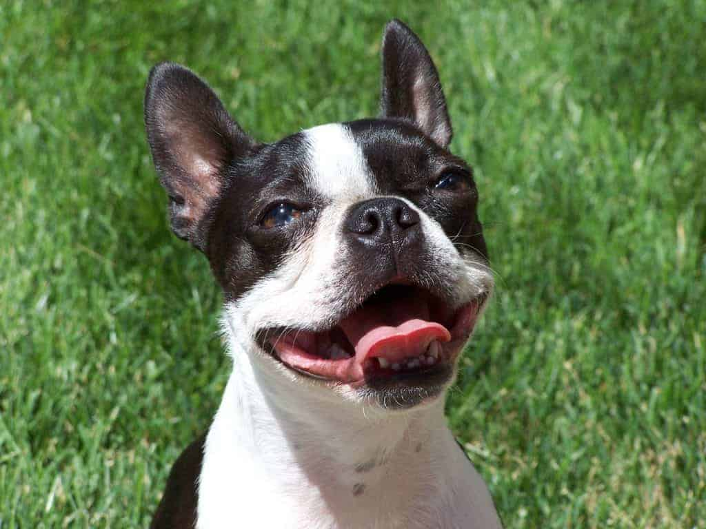 Boston Terrier - Small Dog Breeds