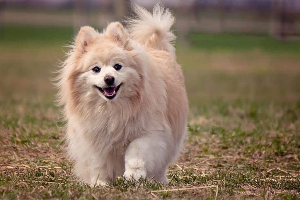 Pomeranian - Small Dog Breeds