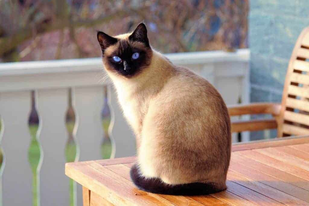 siamese types of cats